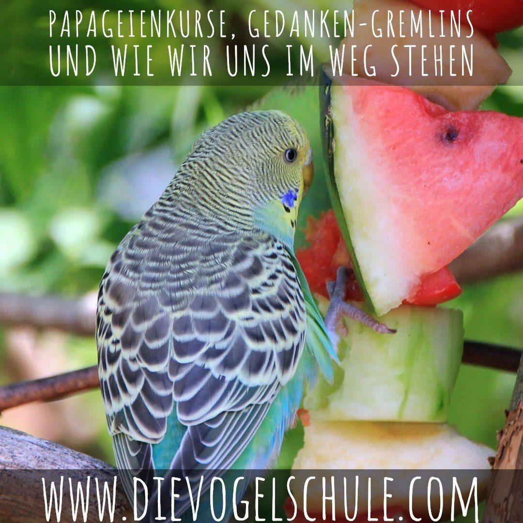 Papageienkurse, Gedanken-Gremlins und wie wir uns im Weg stehen - Wellensittich mit Wassermelone - Bild 1